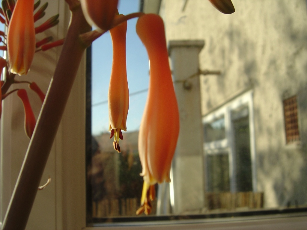 The droop of an aloe flower.