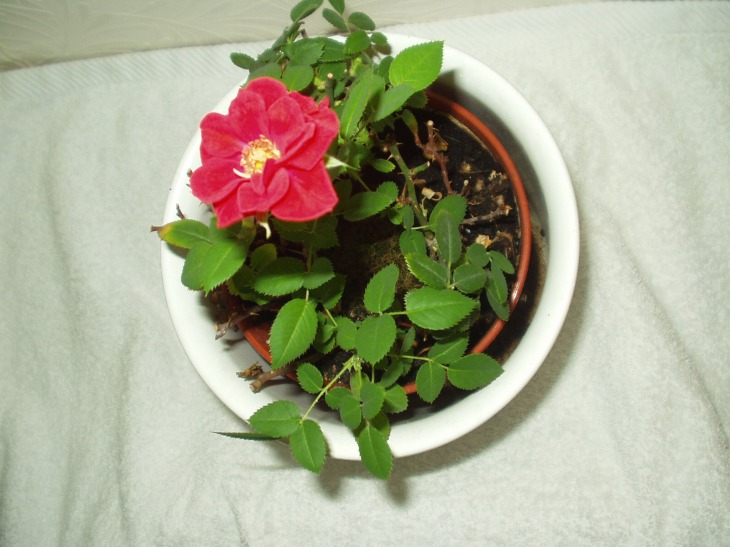Aren't these miniature rose plants cute?