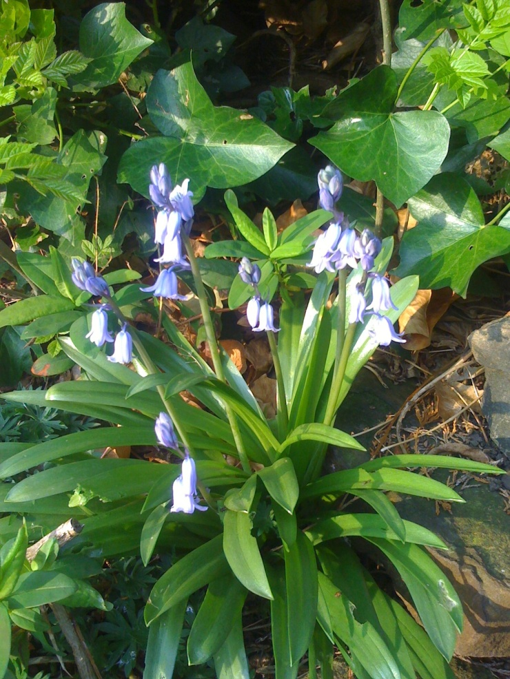 Lovely bluebells (if that's what they are)…