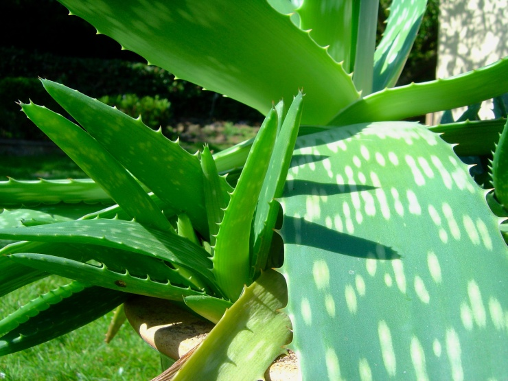 Our aloe plants; we never quite new what species they were, but the closet I could find was the African Aloe.
