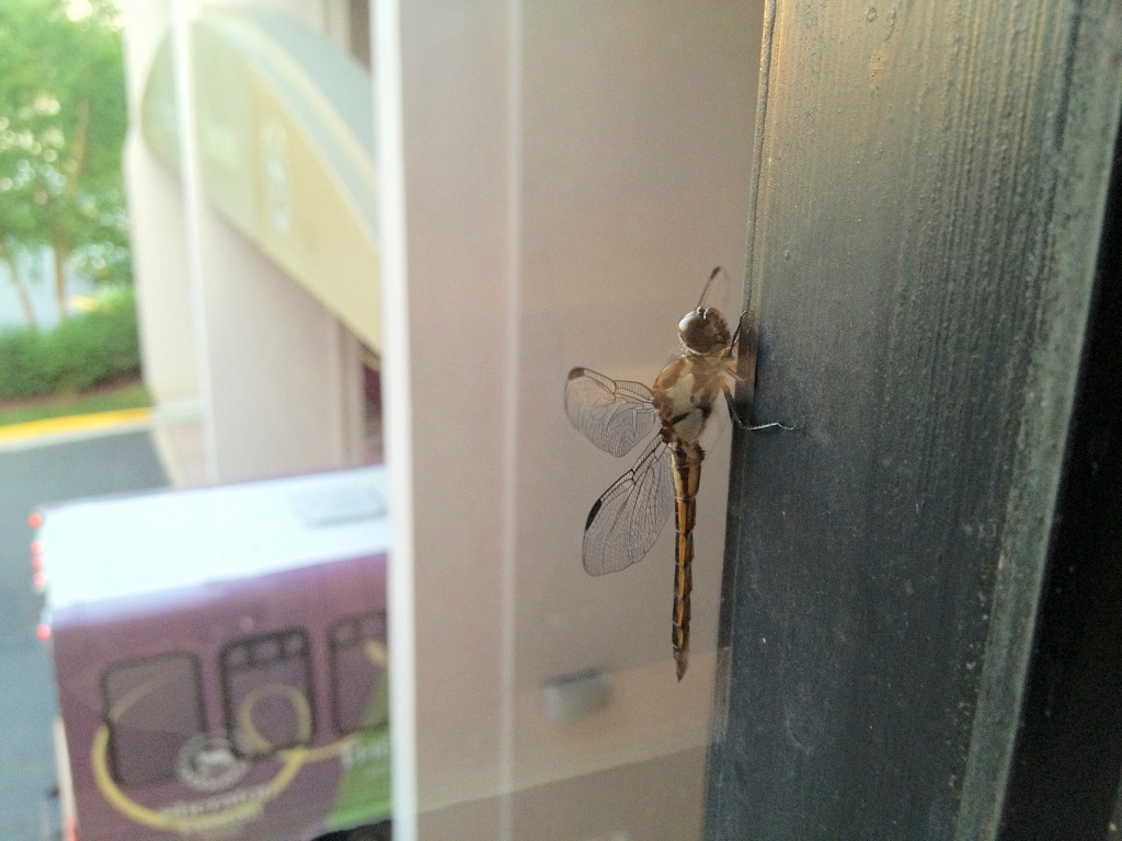 I can never quite get over how delicate a dragonfly's wings appear.