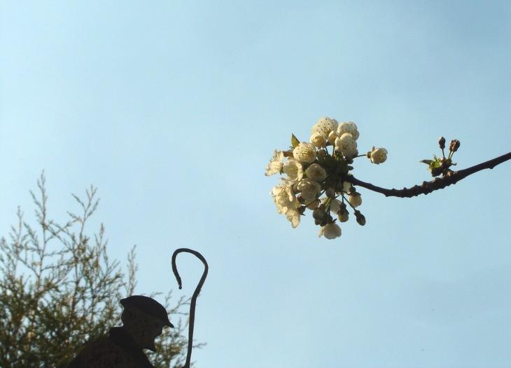 English Cherry Blossom