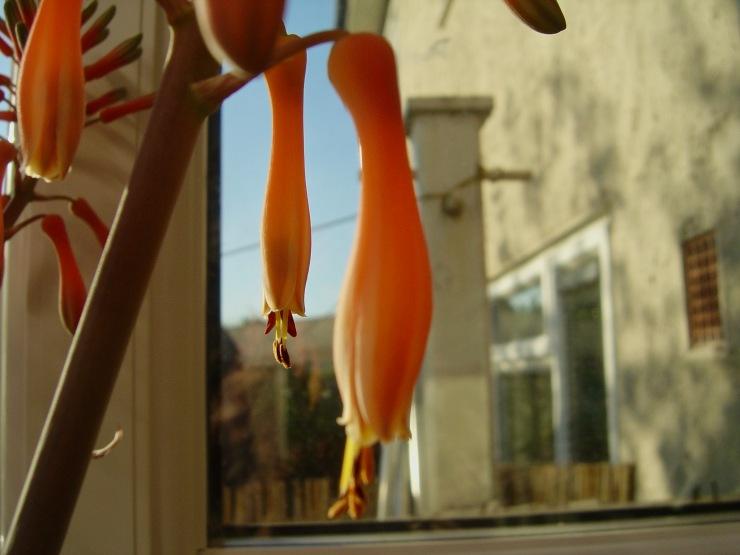 Aloe Bloom (Late)