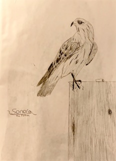 Sonora, the falcon.