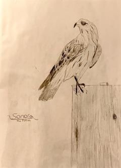 Sonora, the falcon.