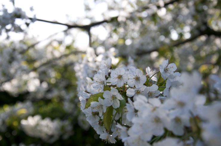 English Cherry Blossoms